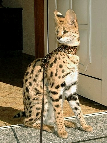 Wildcat Serval - by Savannah Cat