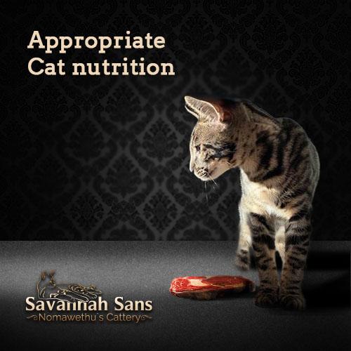 Die moderne BARF Katzenernährung basieren auf der Ursprungsversion von Margitta Graeve. Kiwanga Savannah Cats war die erste und älteste TICA registrierten Savannah-Zucht in Europa